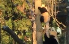 The Monday After The Super Bowl Sucks. Bei Bei Climbing a Tree Does Not.