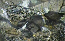 People Love Bald Eagle Live Streams Until Momma Eagle Brings Back A Dead Cat For Them To Feast On
