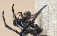 Study Shows That Some Female Spiders Force Male Spiders To Perform Oral Sex
