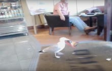 Thug Ass Seagull Robs A Cafe And Nobody Does A Damn Thing About It