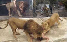It Is Such Bullshit That Two Lions Were Killed For Attacking A Guy That Jumped Into Their Zoo Exhibit To Apparently Commit Suicide