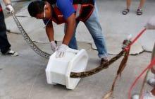Man survives vicious python attack while on toilet