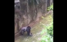 WILD Video Of 4 Year Old Kid That Fell Into The 400 Pound Gorilla Cage At The Cincinnati Zoo