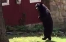 Pedals, The Bear Who Walks Upright, Spotted Lurking Around In New Jersey Again