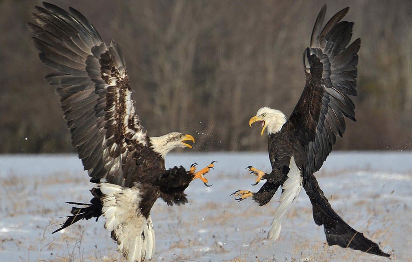 How Many Eagles Could You Kill? – KFC Radio Episode 173