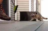 Man With Broom Vs. Pissed Off Raccoon Is A Delightful Quick Battle For The Porch