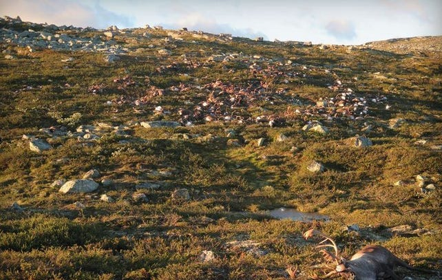 Over 300 Reindeer Died In Freak Of Nature Lightning Strike AKA Aliens Are About To Attack Our Planet