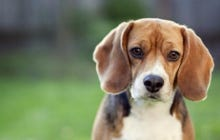 University of Missouri Researchers Blinded Beagle Puppies With Acid Then Murdered Them