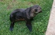 Fox The Baby Sea Lion Who Made A 2500 Mile Wrong Turn Has Died