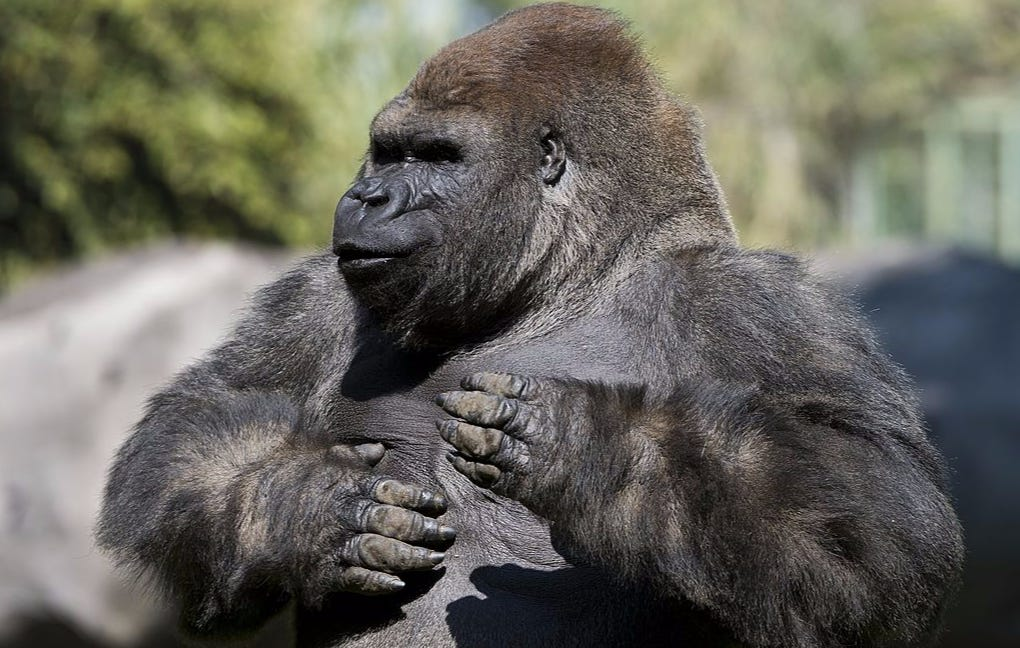 Bantu The Gorilla Dies After Being Sedated For Transport To Mate With 2 Female Gorillas