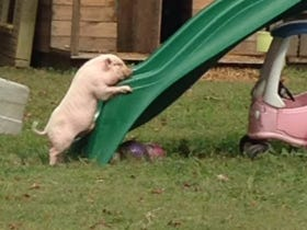 Horny Pig Humps Neighborhood Slide Causing Strife Amongst Neighbors