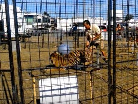 Tiger Attacks Its Trainer And I Wish He Would've Killed The Trainer Dead