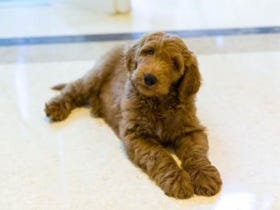 """Is Patton The Golden Doodle Going To Be Trump's """"First Dog?"""""""
