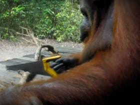 We Gotta Kill This Orangutan Who Taught Herself How To Use A Saw