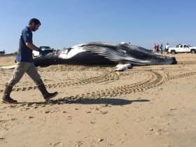 Dead Ass Whales Won't Stop Washing Ashore In Virginia Beach, Who Is To Blame?