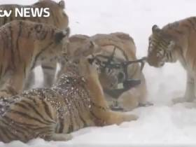 A Bunch Of Badass Tigers Chased Down A Drone And Ate It