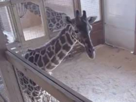 A Livestream Of A Giraffe About To Give Birth Is Back Up After Protesters Forced YouTube To Remove It Because Of