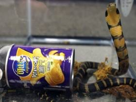 Man Facing Twenty Years For Smuggling Cobras In Pringles Cans