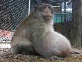 Uncle Fatty, The Obese Monkey, Is Finally Being Released Back Into The Wild