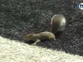 Touchdown Squirrel Is Sweeping The Nation And Stealing America's Heart