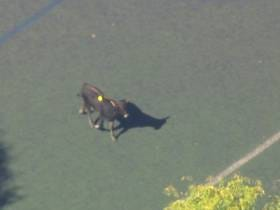 We Have A Cow On The Loose In Prospect Park Brooklyn! (Update: It's Over. Buttercup Has Been Captured)