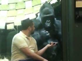 How Weird Is This Dude At The Zoo Showing A Gorilla Pictures Of Female Gorillas?