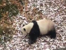 Start Your Week With Mei Xiang Having An Absolute Blast Rolling Around In The Snow