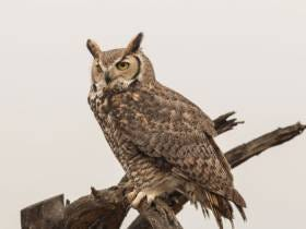 A Ski Resort Is Warning Skiers About Coming To Their Resort Cause An Angry Owl Keeps Dive-Bombing People